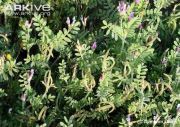 Astragalus-crenatus-in-flower