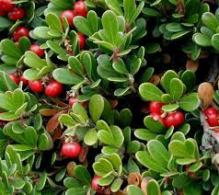 bearberry1