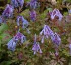 corydalis-flexuosa-purple-leaf-021-027