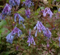 corydalis-flexuosa-purple-leaf-021-027