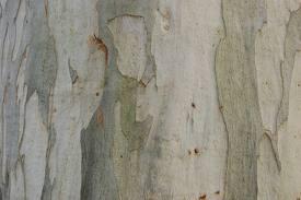 eucalyptus1
