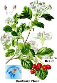 hawthorne4