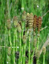 horsetail grass1