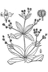 Galium circaezans