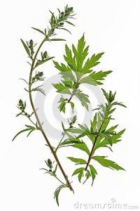 mugwort-artemisia-vulgaris-25937019