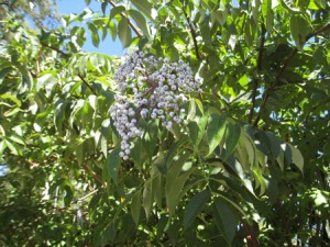 native-elderberry-2