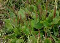 plantago major4