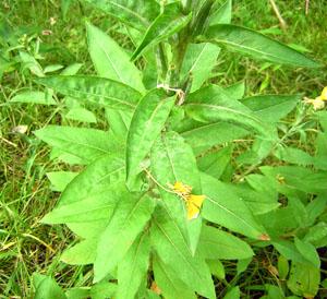 primrose_leaves_edited_300