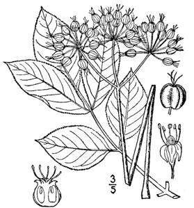 sarsparalla