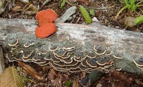 turkey tail mushroom4