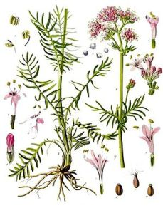 Valeriana_officinalis_-_Köhler–s_Medizinal-Pflanzen-143