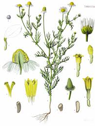 wild chamomile