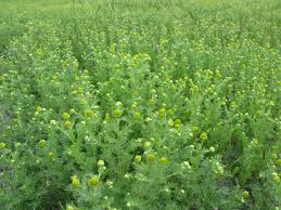 wild chamomile2