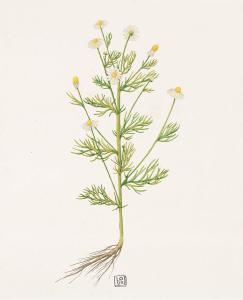 wild chamomile4