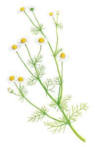 wild chamomile5