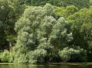 willow5 white