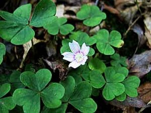 WoodSorrel.Common